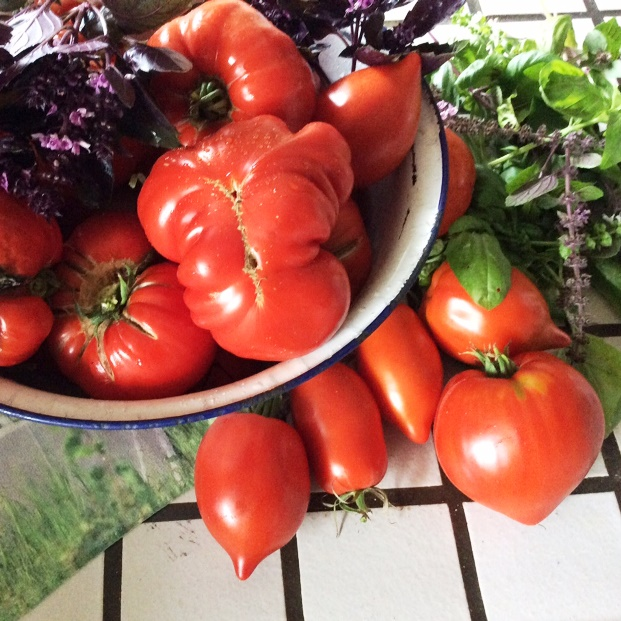 Üppige Tomatenernte