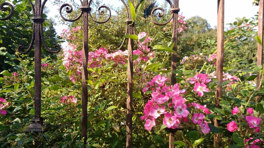 Mozart, eine traumhafte Rose in der zweiten Blüte