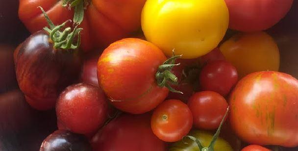 Tomaten Praxiskurs